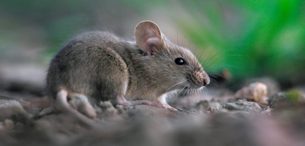 How to Get Rid of Mice? | Mice
